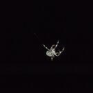 Spider.... still working hard! by Kaylene Passmore