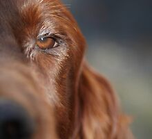 Irish Red Setter  by Chris  Brookes