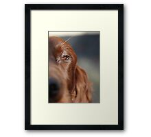 Irish Red Setter  Framed Print