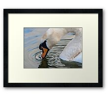 Swan with indifference Framed Print