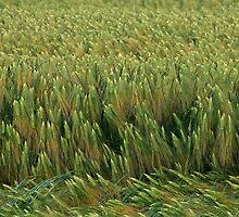 Barley by Stefanie Köppler