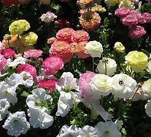 Colourful renunculars and white petunia flowers. by Marilyn Baldey