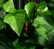 Ivy Rules..... by GerryMac