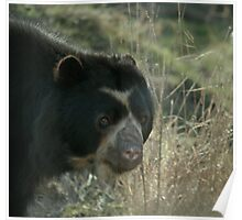 Spectacled Bear Poster
