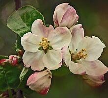 Apple Blossom Time #1 by MotherNature2