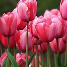 Pink tuilips version 2 by Martina Fagan