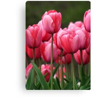 Pink tuilips version 2 Canvas Print