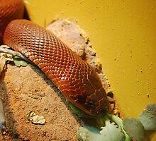 Red Spitting Cobra by Allison Rainey
