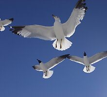 Seagulls in flight by icemaiden6173