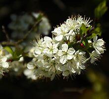 Beach Plum Blossoms - Prunus maritima by MotherNature2