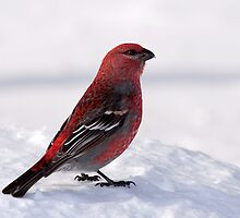 Pine Grosbeak by lloydsjourney