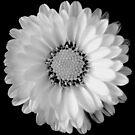 Retro Daisy by Adrienne Berner
