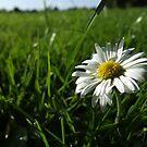 Daisy by Steve Hammond
