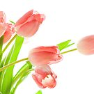 tulips bathed in light by 99gnome