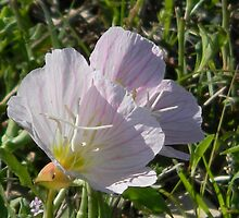 Day Blooming Evening Primrose by Navigator