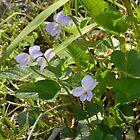 Little Wood Violets by Navigator