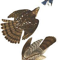 Stanley Hawk, Audubon Birds of America by SJ Griffin