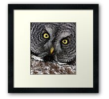 Great Grey Gaze, Transfixing Framed Print