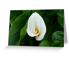 First Calla of Spring Greeting Card