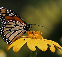 Monarch Butterfly 3 by John Absher