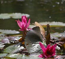 Pink Water Lilly by nicolebartsch