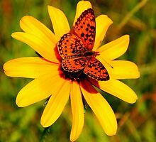 Mountain Fritillary Butterfly on Common Sunflower by John Butler