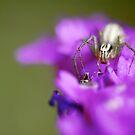 spider by sparrowdk