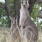 eastern grey kangaroo by wendy lamb