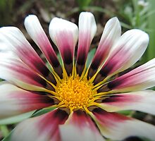 Jazzy Pink and White Gazania by Marilyn Harris