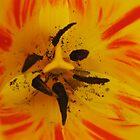 Tulip heart I by sendao