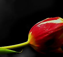 The Red Tulip by Darlene Lankford Honeycutt