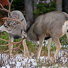 Mule Deer Buck Fight 1 by A.M. Ruttle