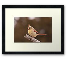 Well fed Cardinal Framed Print