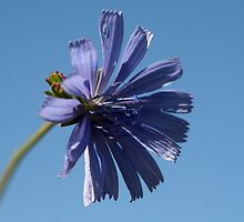 ~Chicory~ by Debra LINKEVICS