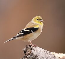 Goldfinch by Gregg Williams