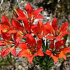 Wood Lily/Western Wood Lily Lilium philadelphicum by Vickie Emms