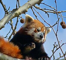 Red Panda Exploring by Margaret Saheed