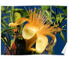 Boab flower blooming Poster