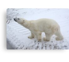 Inquisitive Polar Bear Canvas Print