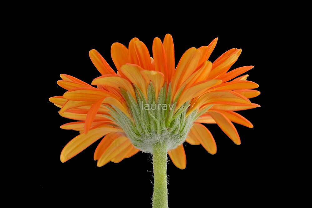 Orange Sunshine by laurav