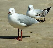 Silver Gull Australia by Sandra  Sengstock-Miller
