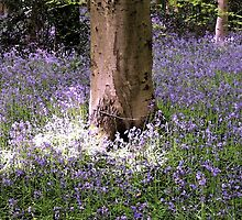 Carpet of Vibrant Purple Bluebells in a Sun Lit Wooded Forest by HotHibiscus