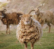 Cornwall: Soay Sheep on the Coast by Rob Parsons