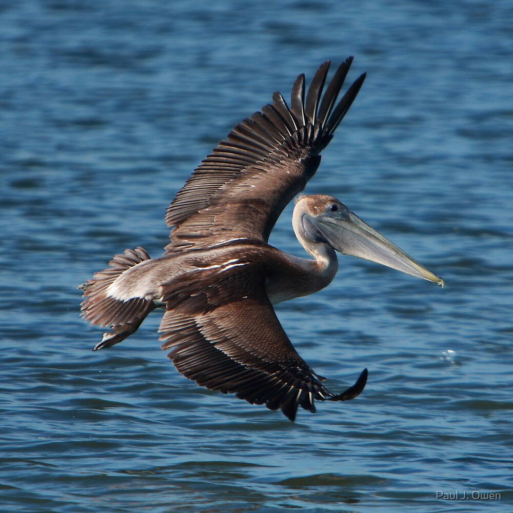 San Francisco Bay Brown Pelican by Paul J. Owen