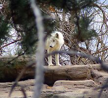 Arctic Wolf by Katagram