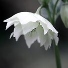 White Hellebore by Sophie Watson
