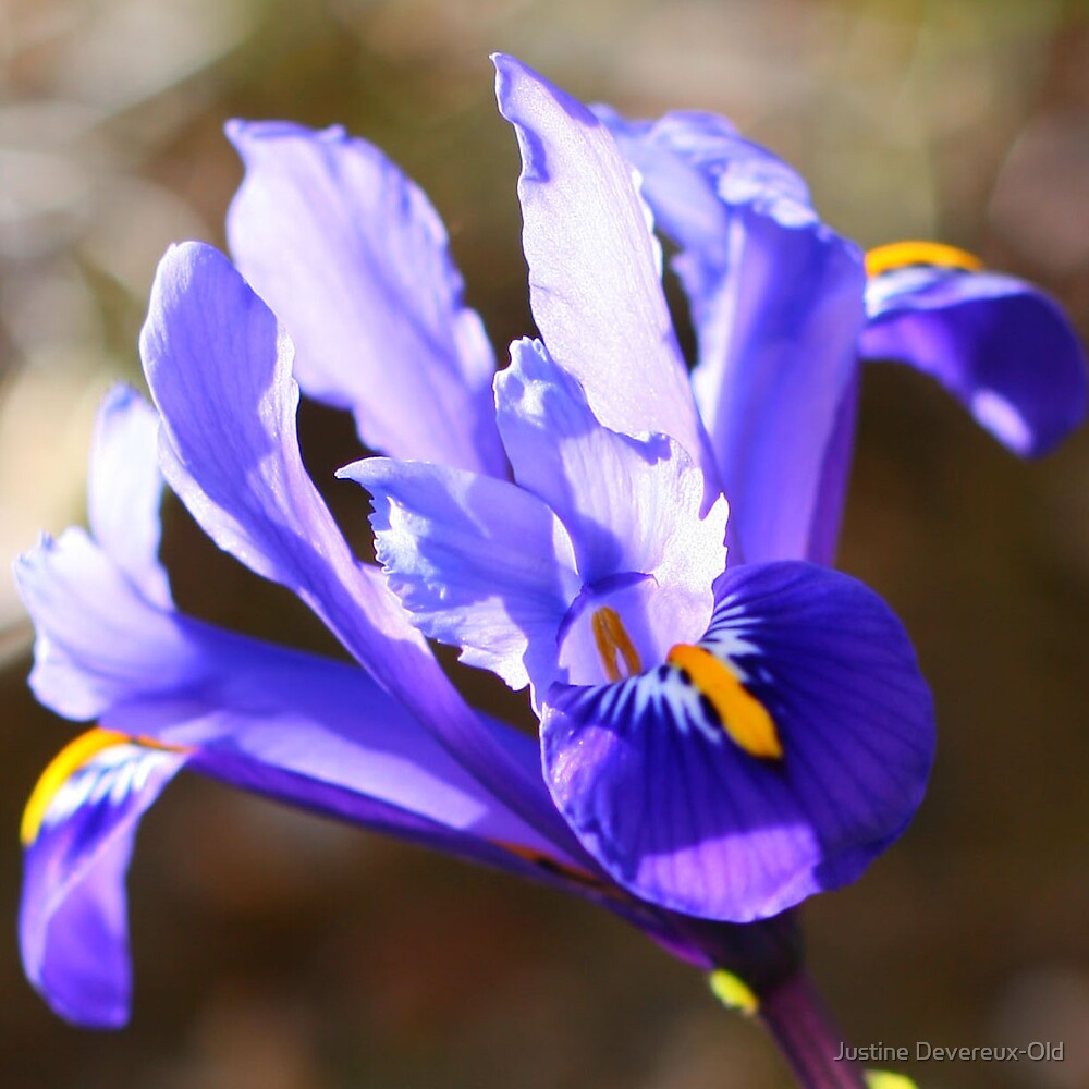 Macro dwarf Iris by Justine Devereux-Old