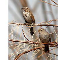 Song Sparrow and White Crowned Sparrow Photographic Print
