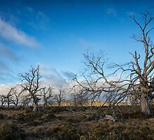 Dead Trees, Central Highlands, Tasmania by Chris Cobern