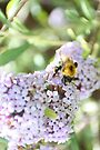 Bee on the Buddleia by missmoneypenny
